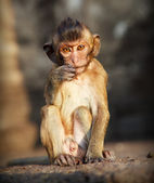 Portrait of young rhesus macaque monkey in meditation near ancient temple in Thailand — Stock Photo
