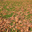 Maple leaves on a green lawn - Stock Photo