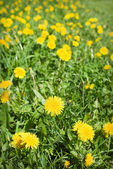 Yellow dandelion flowers with leaves in green grass, spring photo — Stock Photo