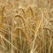 Stock Photo: Rye background