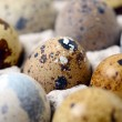 Quail eggs — Stock Photo #24890003