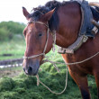 Horse in harness — Stock Photo #33553027