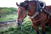 ハーネスの馬 — ストック写真