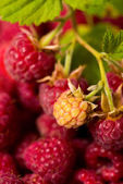 Raspberry fruit background — Stockfoto
