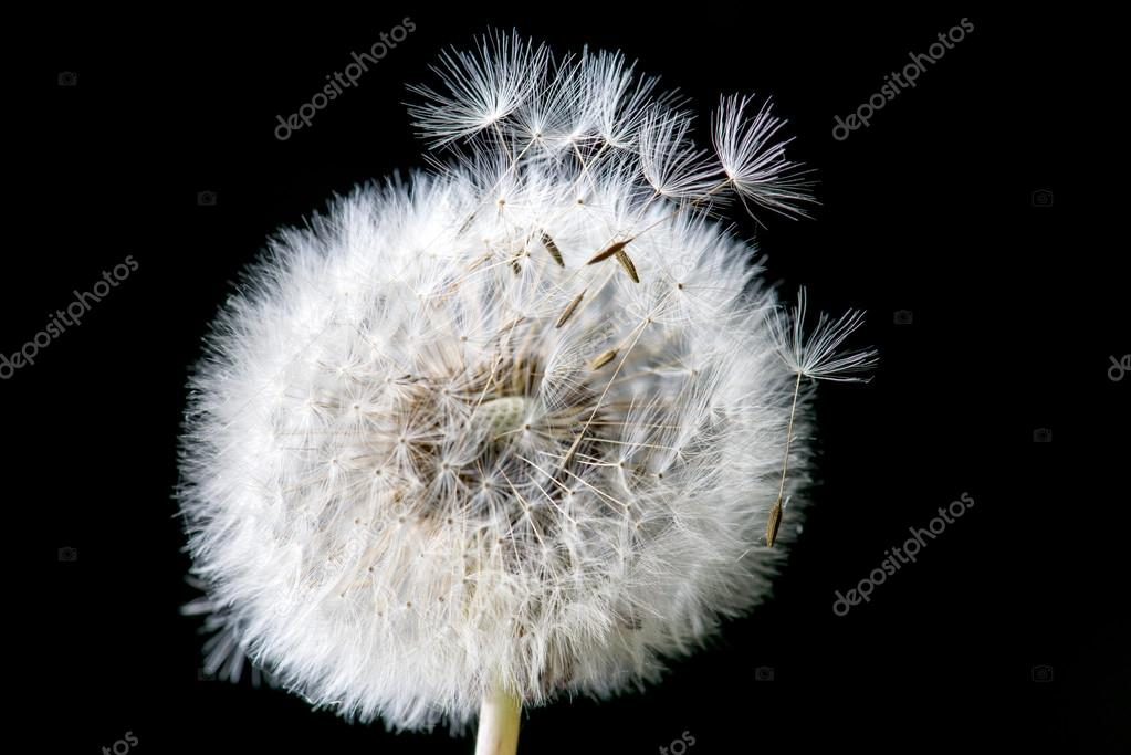 Dandelions Blowing in The Wind Photography Dandelion Loosing Its Seed in The Blowing Wind Photo by Thirteen