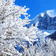 Snowy branches on the background of the Alps — Stok fotoğraf