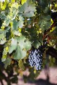 şarap mahzeninde şarap fıçıları yığılmış — Stok fotoğraf