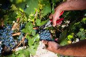 Man working in a vineyard — Stock Photo