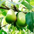Two pears with leafs on the branch — Stock Photo #12405649