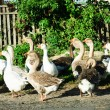 Flock of white and brown geese front of  the paling — Stock Photo