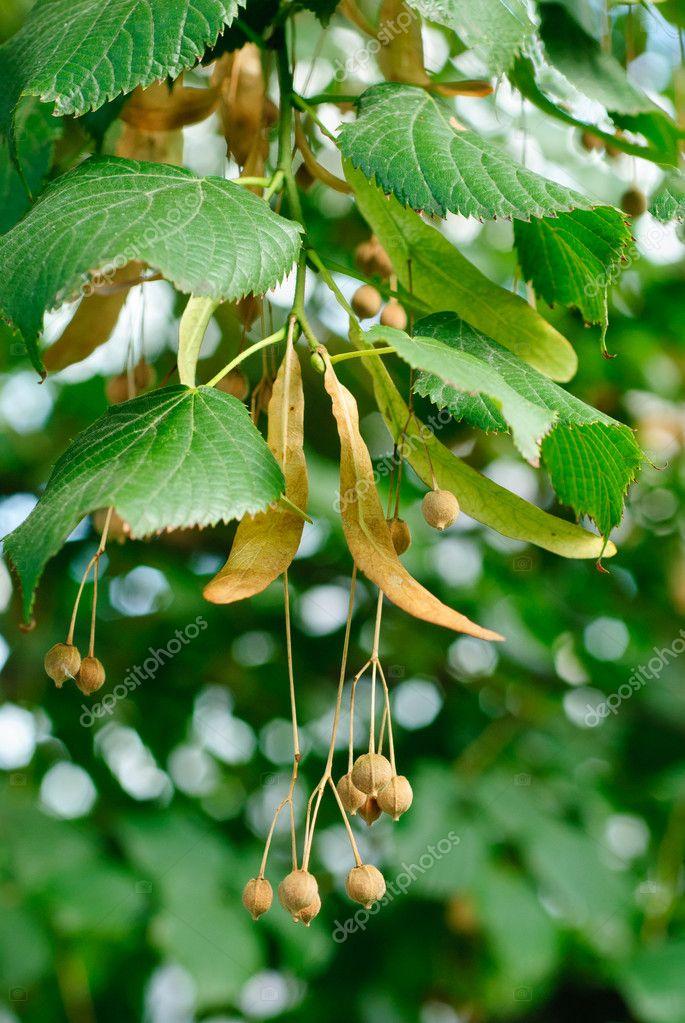 Tiglio albero semi closeup su sfondo di foglie verdi for Tiglio albero