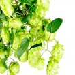 Hop  close-up isolated on  white   background — Stock Photo