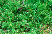 "Evergreen juniperus sabina ""variegata"" cossack nature background — Stock Photo"