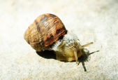 Macro brown snail on a grey background — Stock Photo