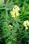 Flowering Common Toadflax, Yellow Toadflax (Linaria vulgaris) — Stock Photo