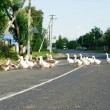 Stock Photo: Flock of white and brown geese front of paling