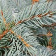 Fresh blue spruce  branch  background  — Stock Photo