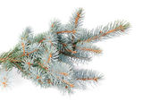 Fresh blue fir tree branch isolated on white background — Stock Photo