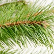 The image of a branch of the pine — Stock Photo