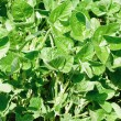 Green soy plant leaves in the cultivate field — Stok fotoğraf