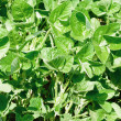 Green soy plant leaves in the cultivate field — Foto Stock