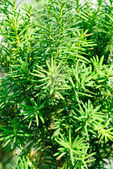 Yew (Taxus baccata) green leaves background — Stock Photo