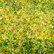 Green - yellow soy plant leaves in the cultivate field — Stok fotoğraf
