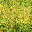 Green - yellow soy plant leaves in the cultivate field — 图库照片