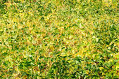 Green - yellow soy plant leaves in the cultivate field — Stock Photo