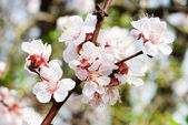 Branch of cherry tree with flowers — Stock Photo