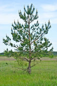One yang pine. Ukraine . — Stock Photo