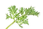 Wormwood (Artemisia absinthium L.) on white  — Stock Photo