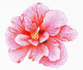 Hand-drawn pink hibiscus — Stock Photo