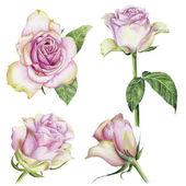 Hand-drawn set of roses — Stock Photo
