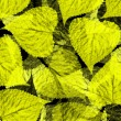 Poplar leaves background — Stock Photo