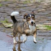 Dynamic Mixed-Breed Dog — Stock Photo