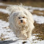 A Dog - Havanese runs on a slightly snowy meadow with flying fur. — Stock Photo