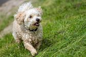 Wet mixed breed dog — Stock Photo