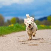 Fast running Dog — Stock Photo