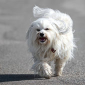 Havanese breed a dog — Stock Photo