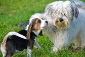 Puppies at play — Stock Photo