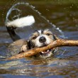 Stock Photo: Dog with stick in water