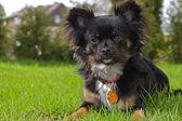 Chihuahua noir — Photo