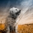 Havanese Colorkey — Stock Photo #32939207