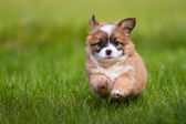 Puppy runs — Stock Photo