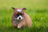 Young puppy dog — Stock Photo