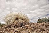 грязная собака — Стоковое фото