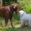 Labrador vs. Havanese — Stock Photo #34503231