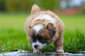 Little curly puppy — Stock Photo