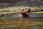 Labrador Retriever in retrieving — Stock Photo